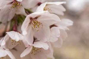 霞城公園の桜 アップ