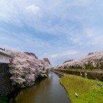 山形市内桜が満開です。